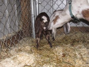 Magil's first born kid, a first generation Mini Nubian doeling sired by Green Gables Fredrick the Dragon.