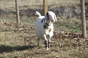 Magil, our very pregnant Nubian doe, on a Sunny day in the pasture.