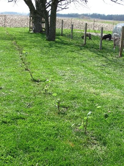 Ten little grape vines, all in a row.